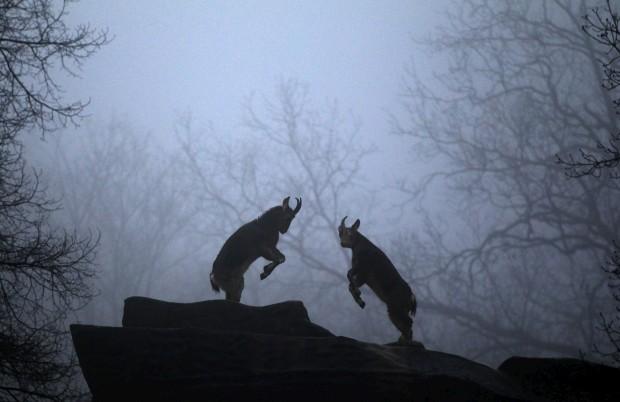 ALEMANHA, 4.1.2013. Cabras montanhesas em jogo de luta no zoo de Wuppertal