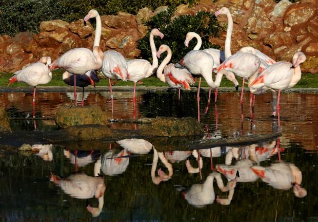 GRÉCIA, 19.01.2013. Flamingos no zoo Attica perto de Atenas