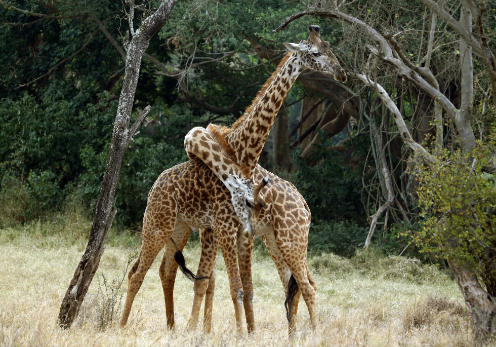 QUÉNIA, 11.03.2013. Brincadeiras carinhosas entre duas girafas no Parque Nacional de Nairobi