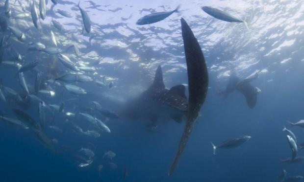 Os tubarões-baleia que vêm comer à nossa mão