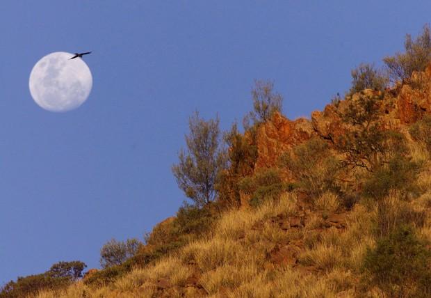 Um milhafre num voo ao luar perto de Alice Springs