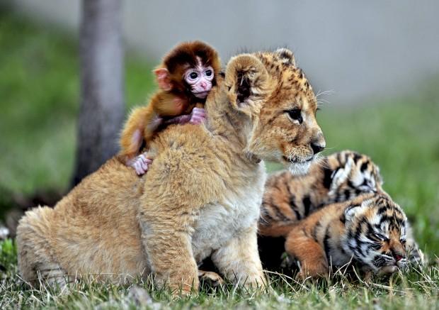 CHINA, 1.05.2013. Brincadeira de bebés: macaquinho, leãozinho e tigrezinhos. No Parque de Tigres de Shenyang.
