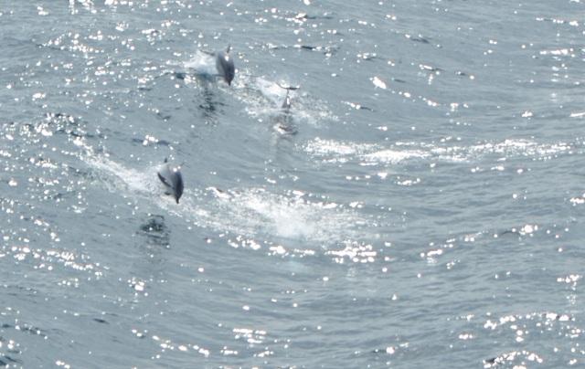 Mediterrâneo: A sempre soberba coreografia dos golfinhos a acompanhar os barcos. Vistos em Março, no Mediterrâneo, a caminho de Valência. Foto de Carla B. Ribeiro