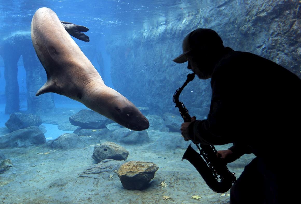 AUSTRÁLIA, 19.08.2013. Steve Westnedge toca o seu saxofone para Casey, uma foca-leopardo, como parte de um estudo da reacção de animais a diferentes sons. No Zoo de Sydney