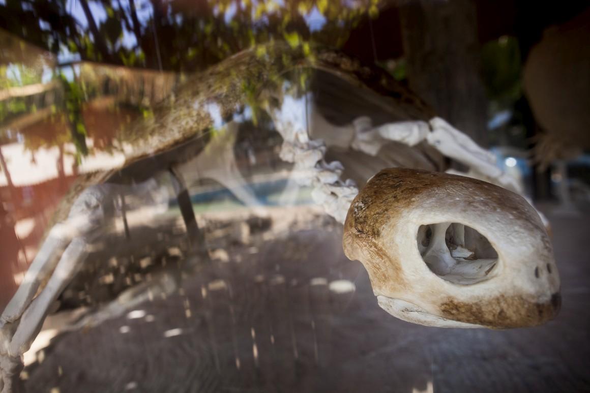 Esqueleto de tartaruga exposto no Centro de Visitantes do Projecto Tamar