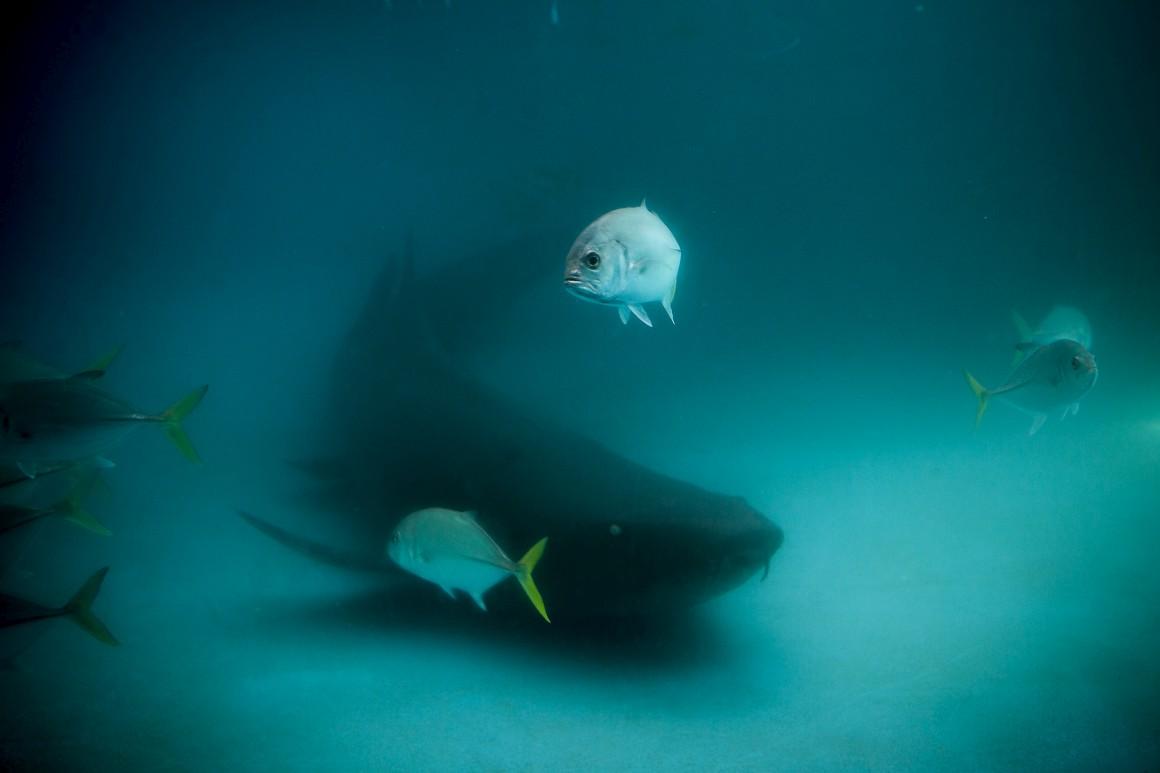Um tubarão no Centro de Visitantes do Projecto Tamar