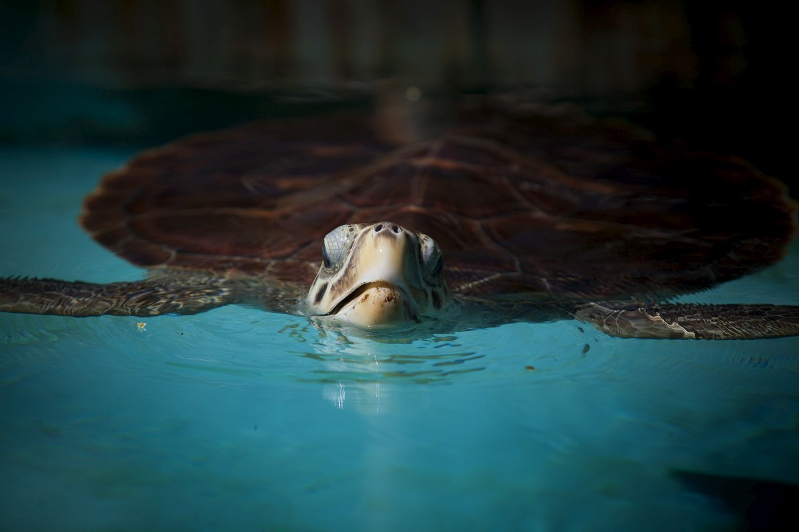 Uma das tartarugas do Centro de Visitantes do Projecto Tamar