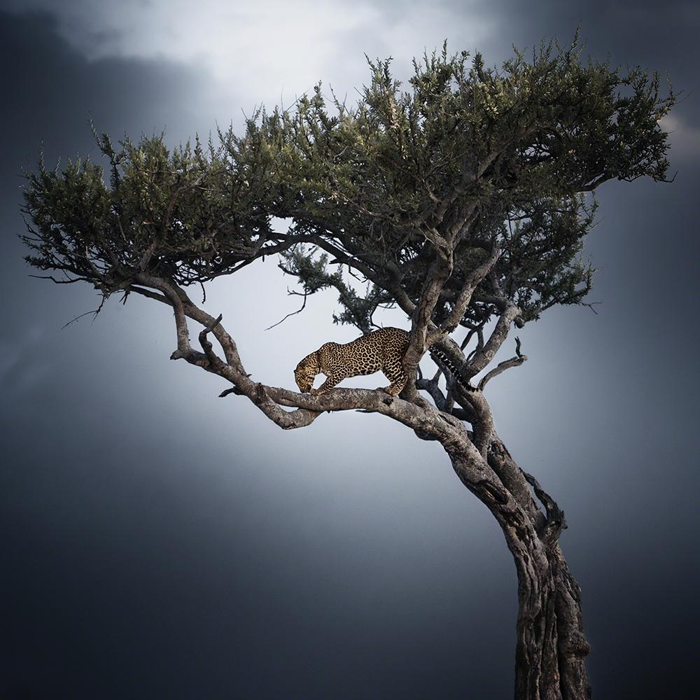 One Shot, louvor, Nicolas Lotsos (Grécia): Leopardo numa árvore, Masai Mara, Quénia