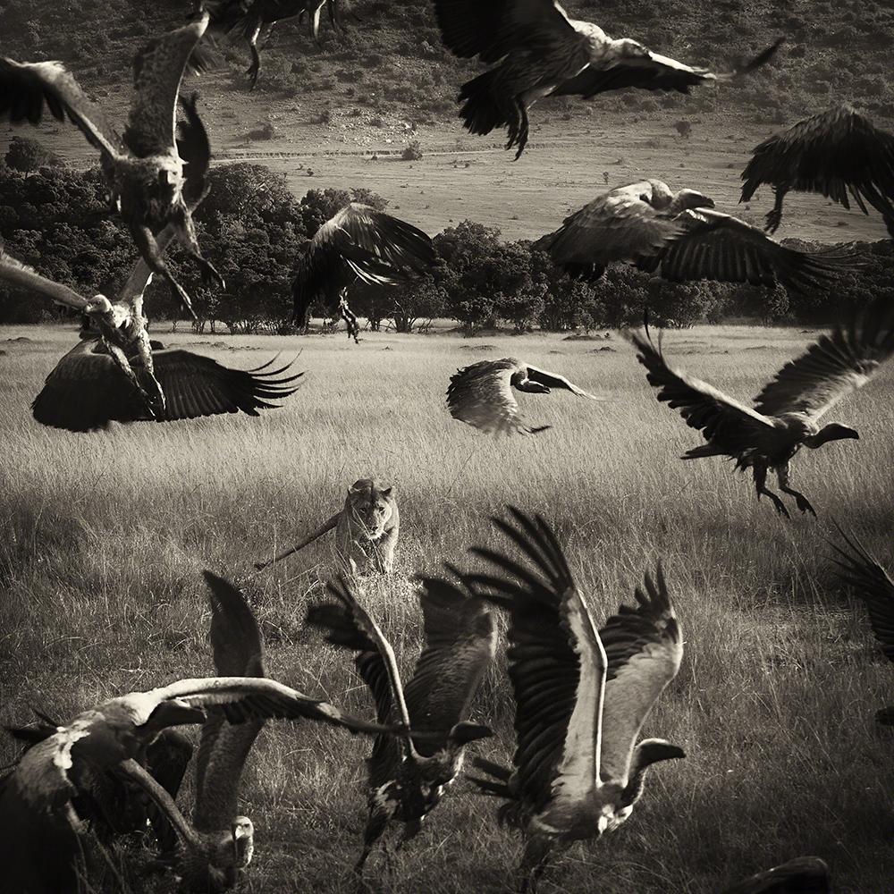 Wild Stories, imagem isolada, menção honrosa, Nicolas Lotsos (Grécia): Leoa defende a sua caça na reserva de Masai Mara, Quénia
