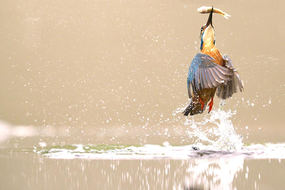 Wild Stories, imagem isolada em portefólio, vencedor, Peter Downing (Reino Unido): Kingfisher, Worcestershire