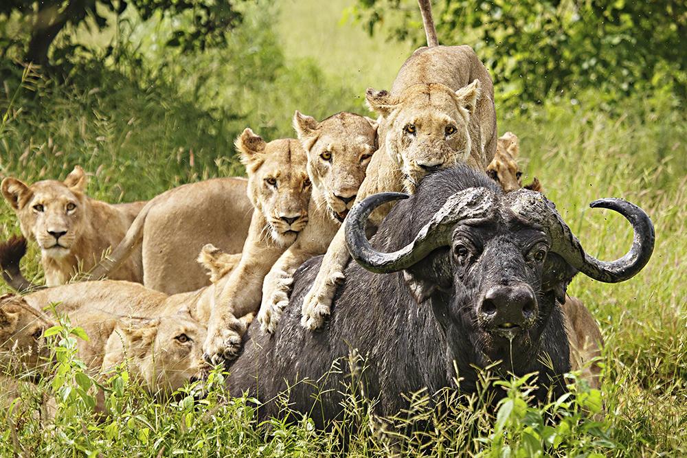 Wild Stories, 2.º classificado, Ed Hetherington (EUA): Leoas à caça, Delta do Okavango, Botswana