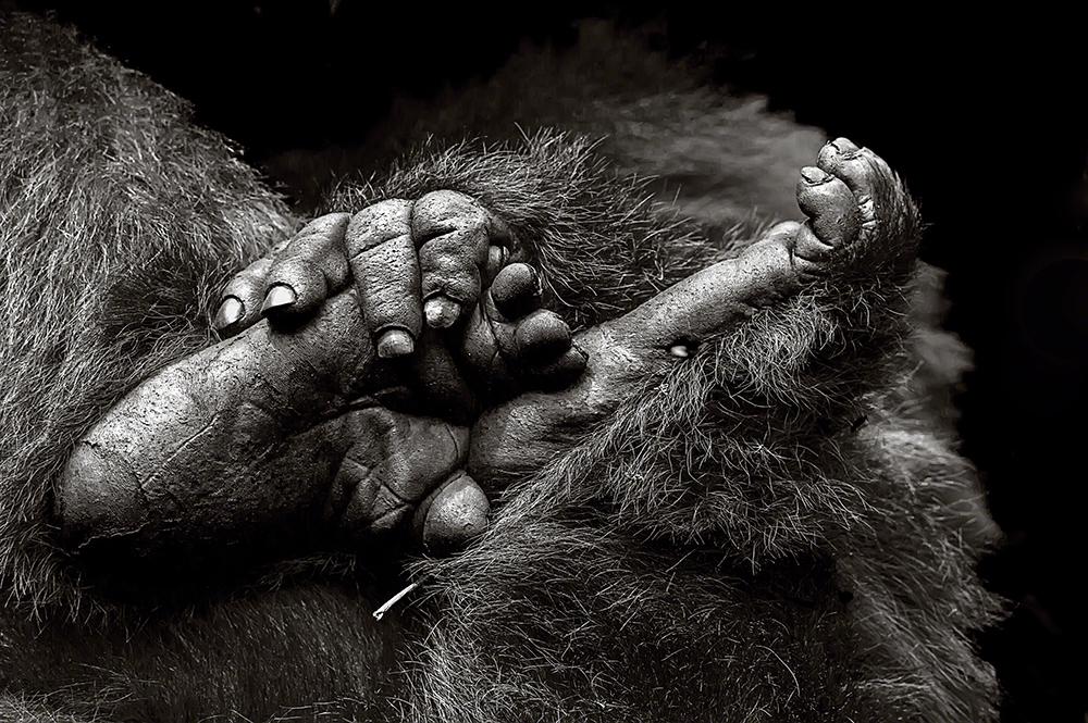Monocromático, imagem isolada, menção honrosa,Gail Von Bergen-Ryan (Suíça): Gorila nas montanhas Virunga do Ruanda