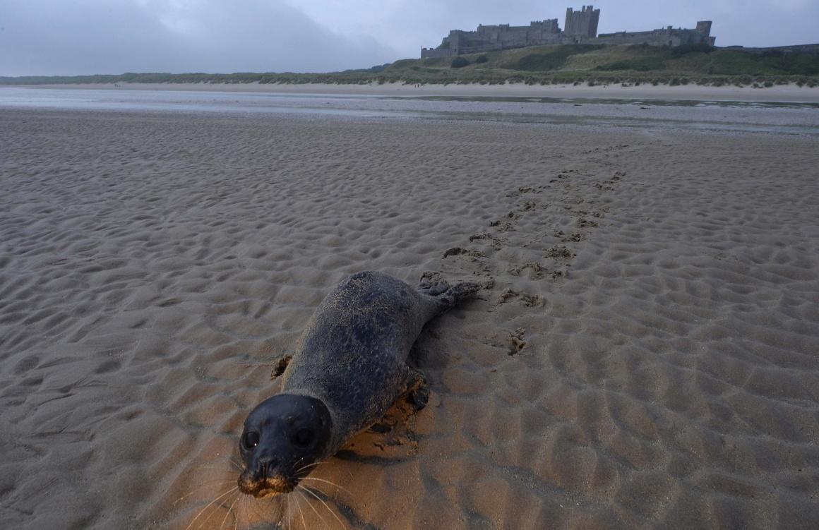ESCÓCIA, 23.08.2013. Uma foca bebé em regresso ao mar em frente do castelo de Bamburgh