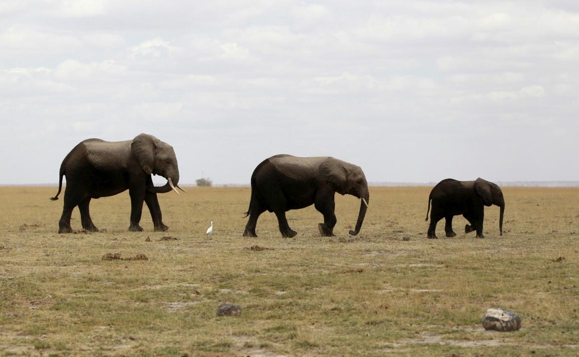 QUÉNIA, 9.10.2013. Uma família de elefantes durante uma contagem no parque nacional de Amboseli, perto de Nairobi