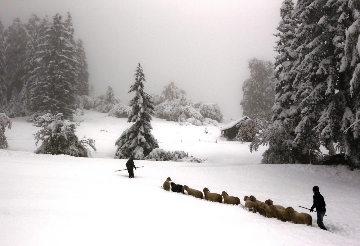 ALEMANHA, 11.10.2013. A conduzir o rebanho pela neve perto de Garmisch-Partenkirchen e Mittenwald, após grandes nevões.