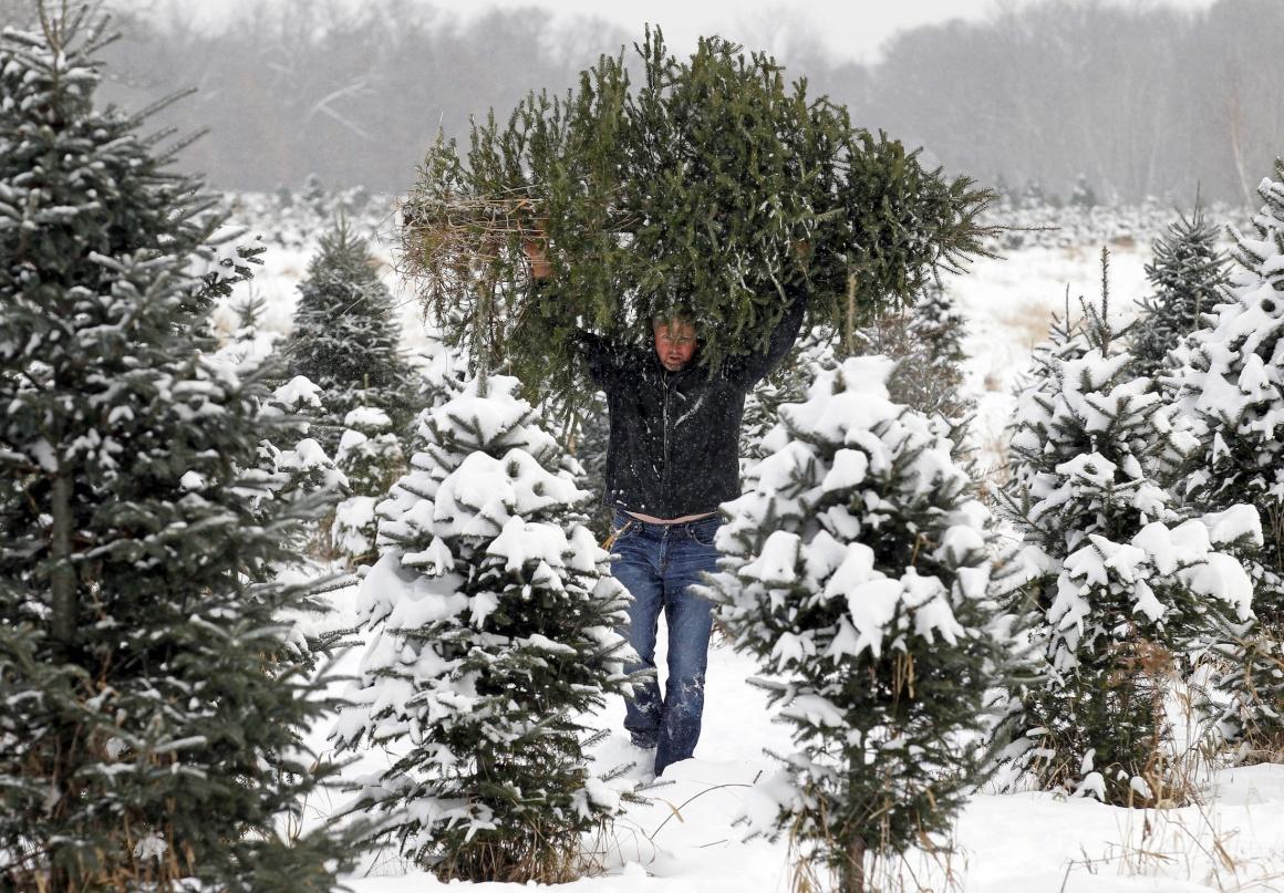 EUA, 8.12.2013. A carregar uma árvore de Natal, no Minesota, de um parque especializado em criar árvores para venda.