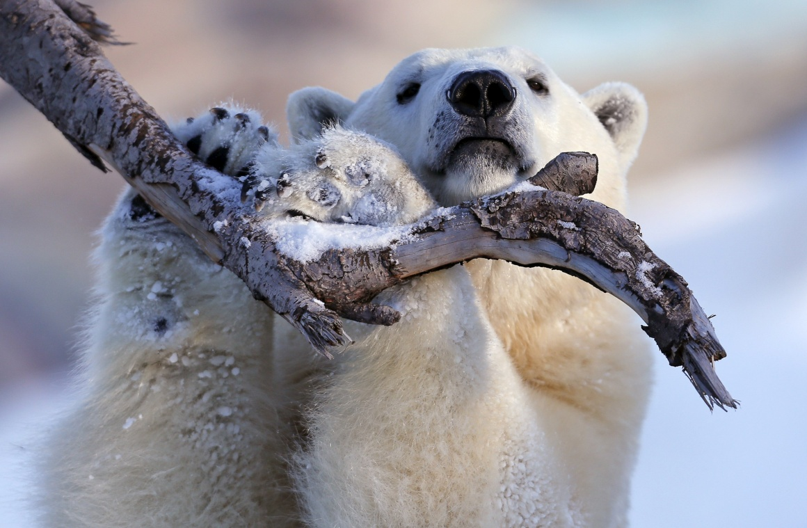CANADÁ, 30.12.2013. Taiga, urso polar do Aquário do Quebeque, é especialista em posar para as câmaras
