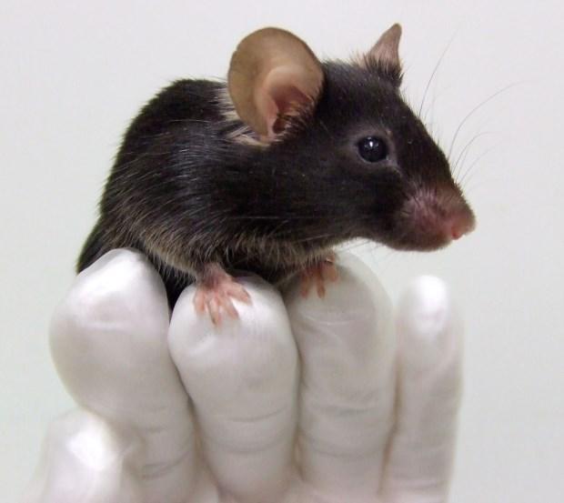 Exercício físico moderado nos ratinhos teve efeitos benéficos no aumento dos níveis de determinadas enzimas