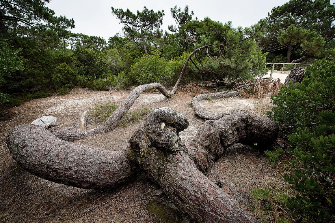 As formas excêntricas do pinheiro-bravo da Mata Nacional de Leiria
