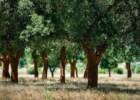 As árvores milenares de Portugal
