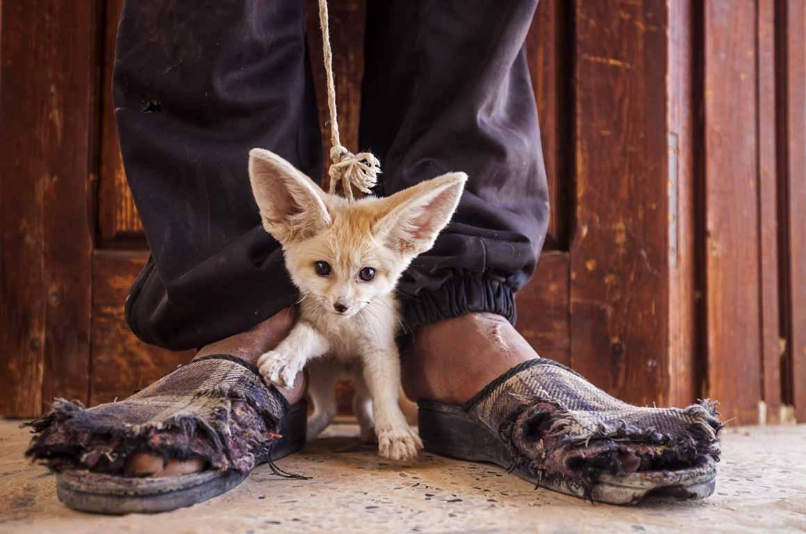 Vencedor/O Mundo em Nossas Mãos: uma raposa do deserto com três meses à venda numa aldeia do sul da Tunísia