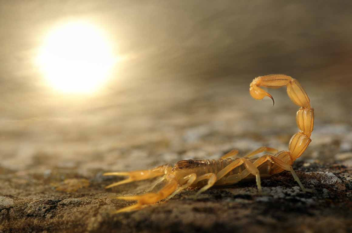 Vencedor/Menos de 10 anos: um escorpião amarelo em Torralba de los Sisones, Espanha