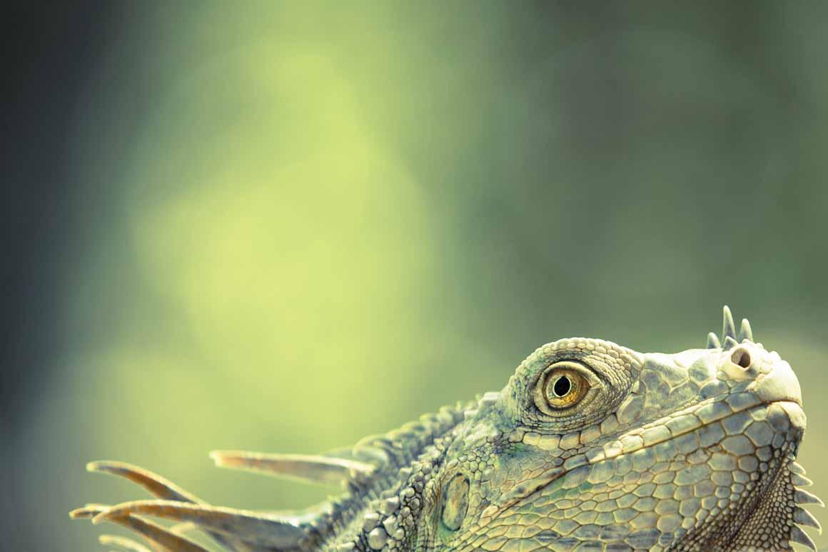Finalista/11 a 14 anos: uma iguana verde que surgiu do nada num hotel na Costa Rica