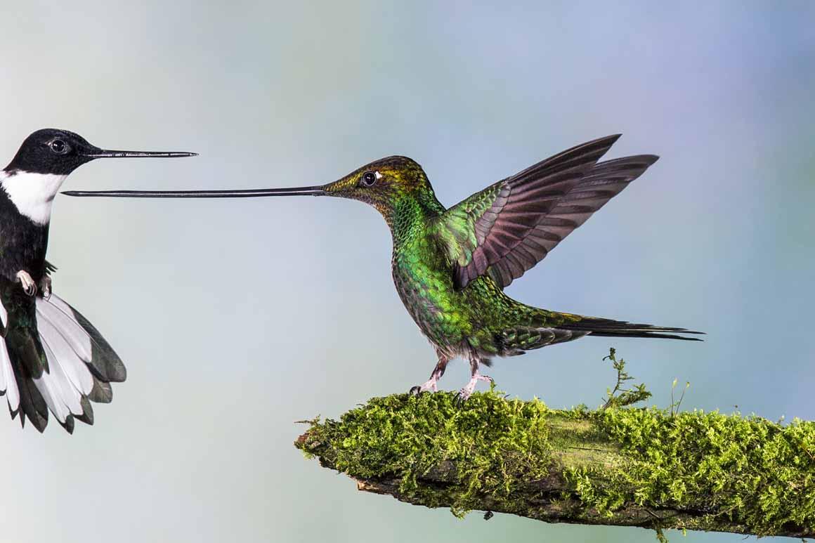 Finalista/Aves: um colibri bico de espada em posição de