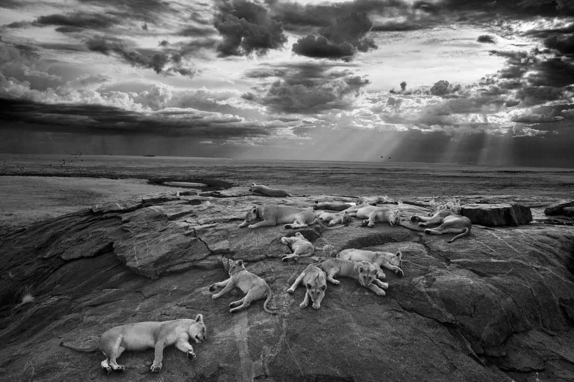 Cinco leoas e as suas crias no Parque Nacional Serengeti, na Tanzania: primeiro prémio para o fotógrafo