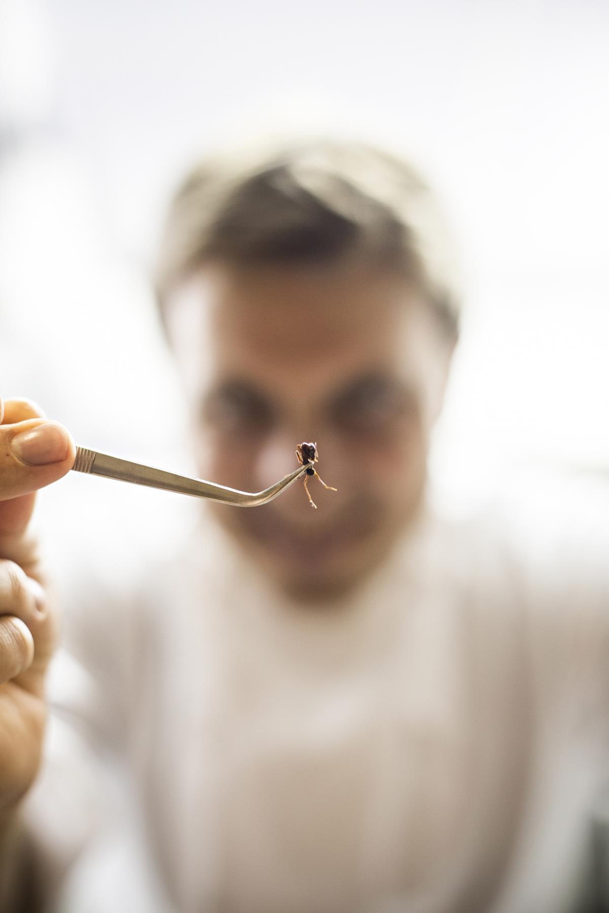Chef Felipe Schaedler mostra as formigas da Amazónia que usa no seu restaurante Banzeiro. Estado do Amazonas, Manaus