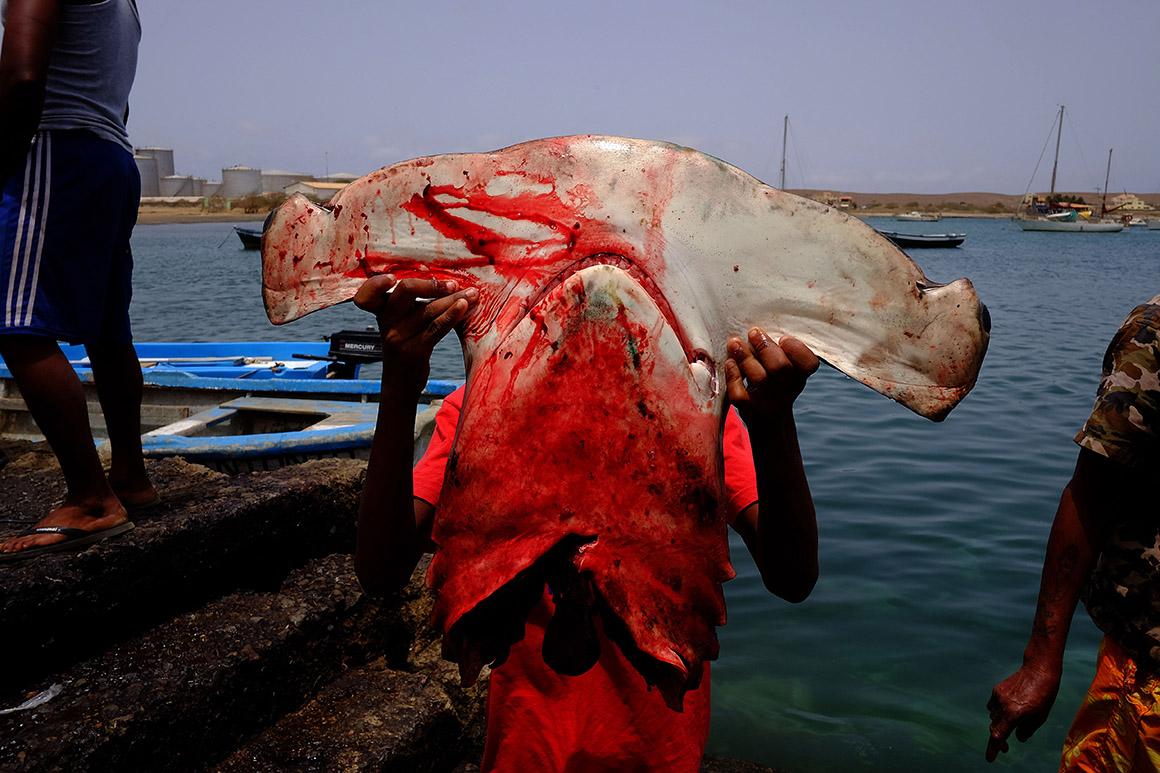 Cabo Verde, ilha do Sal - Vila piscatória, palmeiras, peixe-tubarão