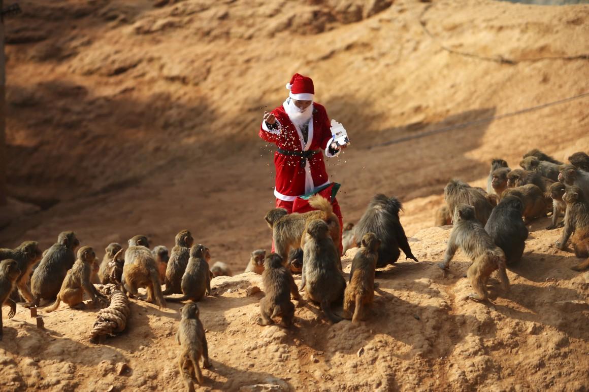 China. Um empregado de zoo veste-se de Pai Natal para alimentar os animais em Kunming