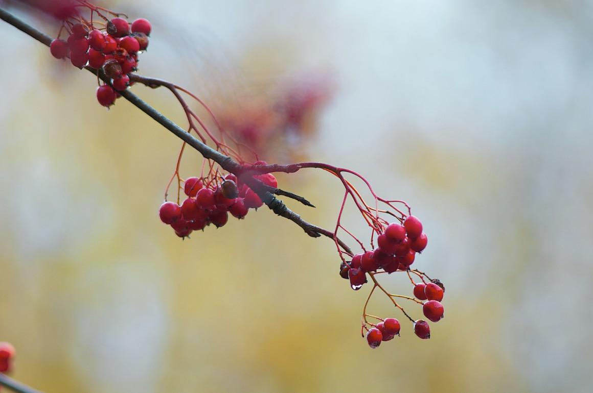 Pormenor de bagas de tramazeira durante o Outono. Esta árvore está bem adaptada à altitude e ao frio