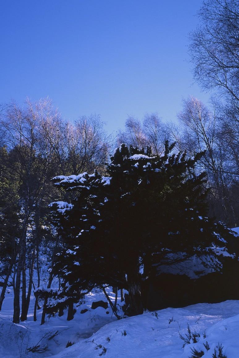 Um dos inúmeros teixos centenários existentes no vale do Zêzere cobre-se de neve durante o Inverno