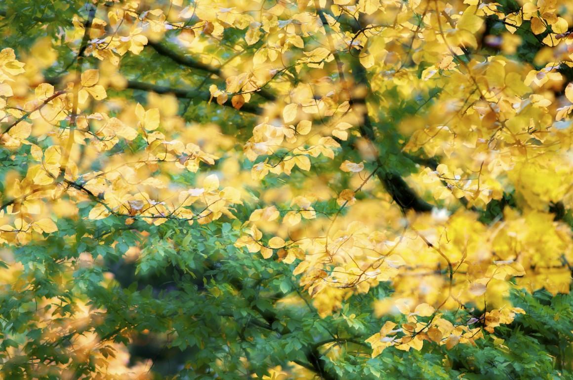 Pormenor de faias durante o Outono na Mata de Manteigas.