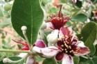 A feijoa e os seus frutos aromáticos