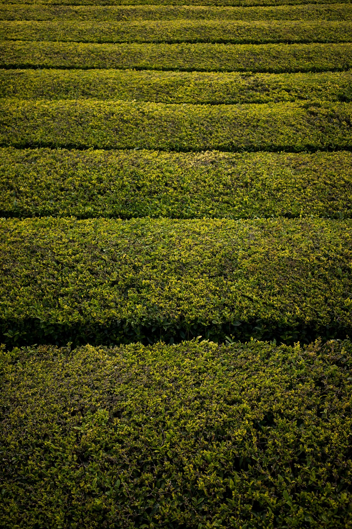 Gorreana, plantação de chá