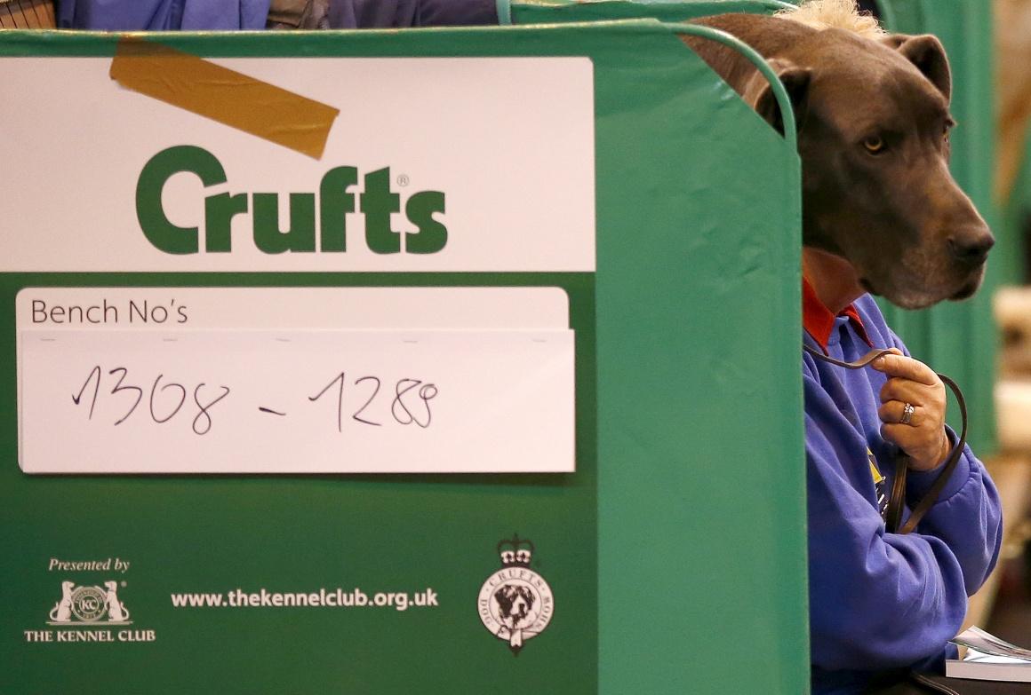 INGLATERRA. Na verdade, é uma mulher sentada com o seu Grand Danois durante uma mostra canina em Birmingham, 2014.