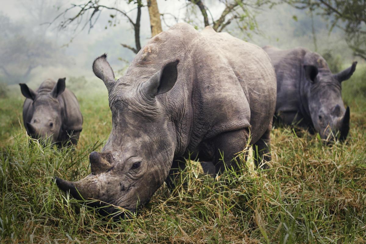 Menção Honrosa - Reserva de Rinocerontes de Ziwa, Uganda
