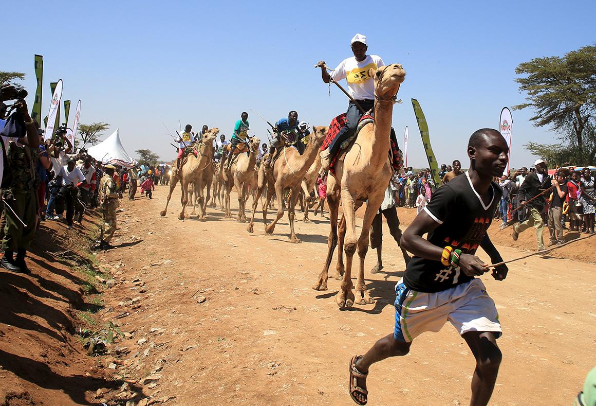 Concorrentes montam os seus camelos durante uma corrida do Maralal Camel Derby