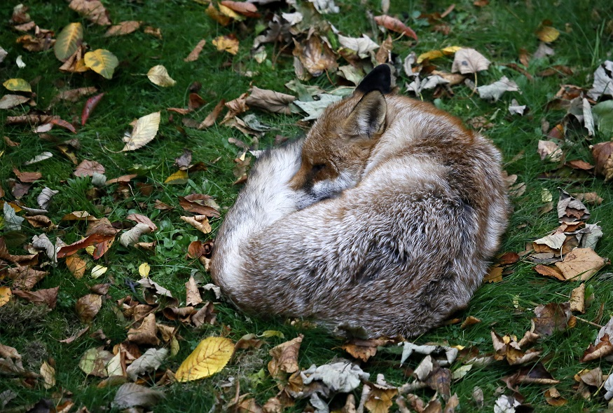 Uma raposa num jardim londrino