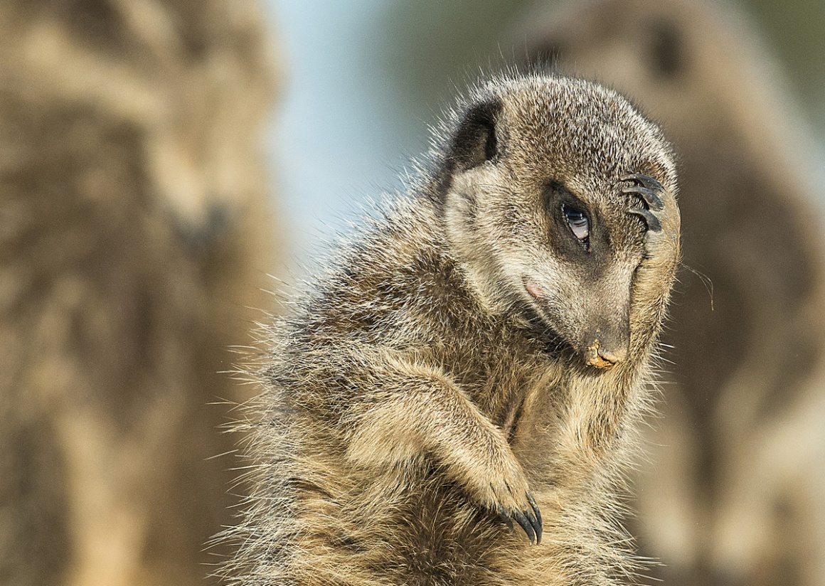 Natureza e Ambiente: menção honrosa para Brigitta Moser (Áustria). Na imagem: o despertar do suricata, em Little Karoo, África do Sul