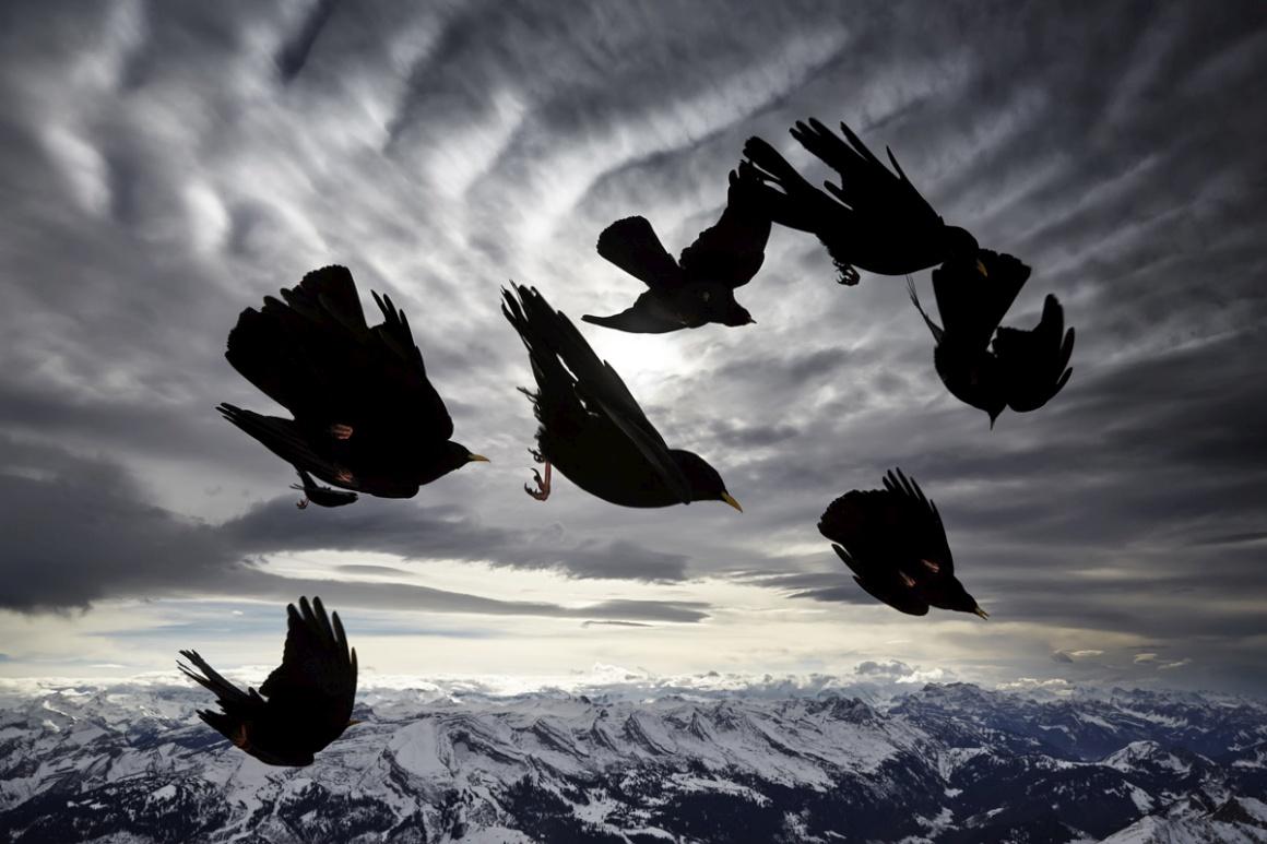 Natureza e Ambiente: Melhor imagem em portefólio: Alessandra Meniconzi (Suíça). Na imagem: um voo de gralhas nos Alpes - Appenzell