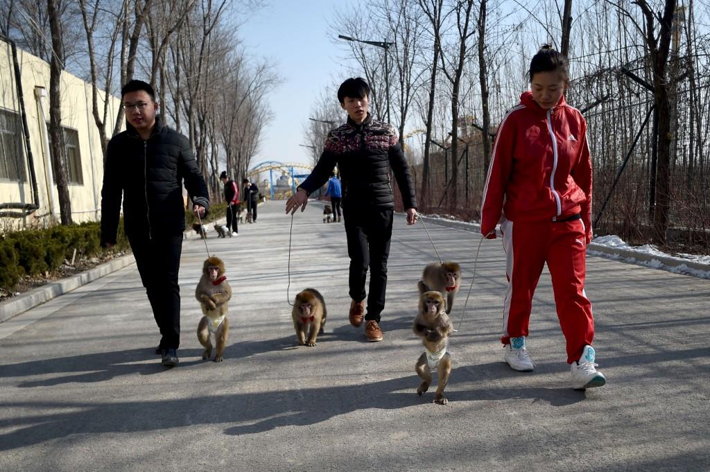 Passeio de macacos, província de Shandong, China