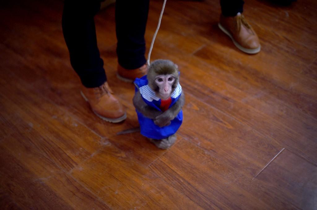Macaco durante o ensaio numa escola de treino no jardim zoológico em Dongying, província de Shandong, China