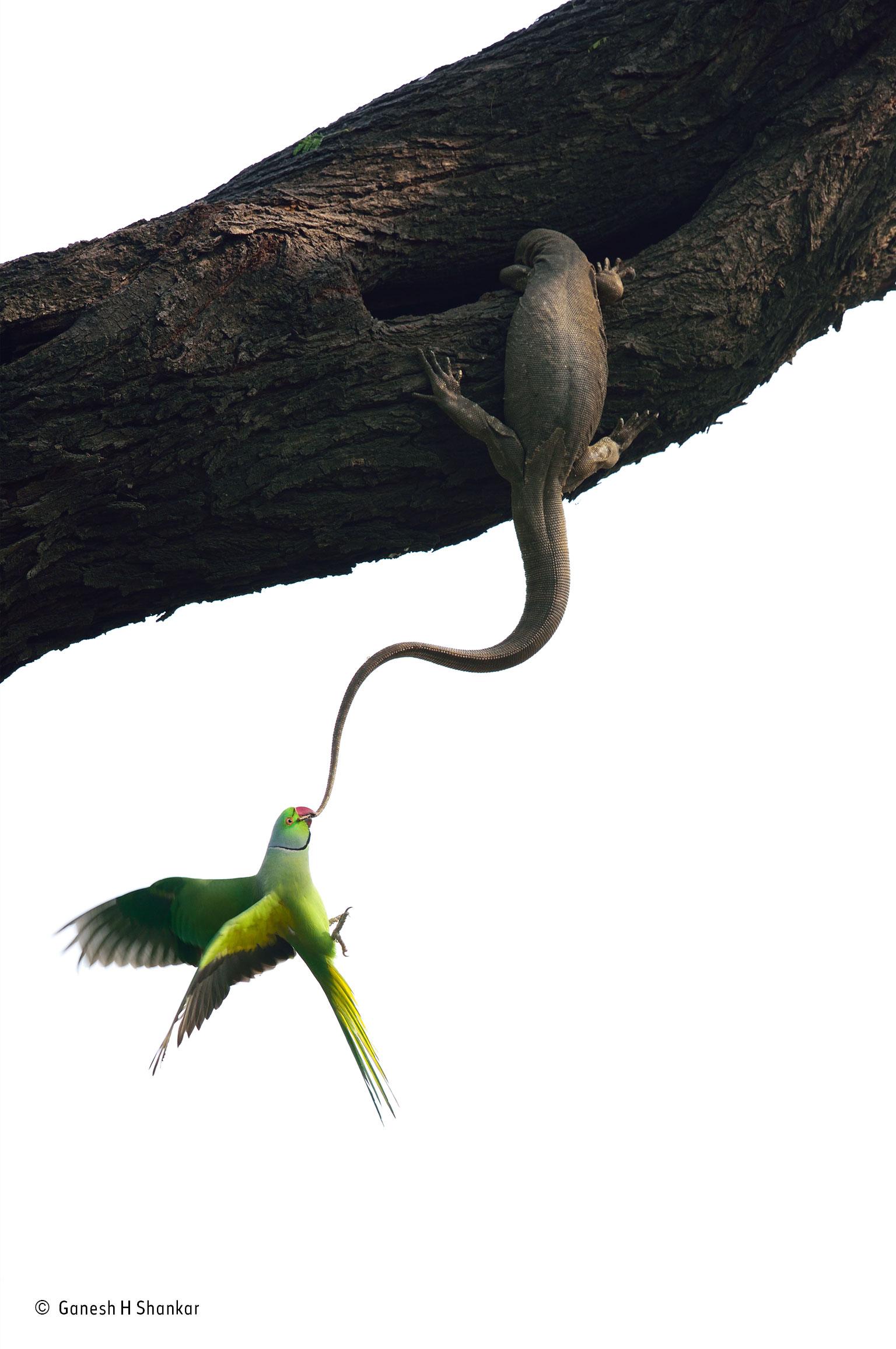 Periquito tenta desalojar um lagarto do seu ninho habitual no Parque Nacional de Keoladeo, Rajastão, Índia (Vencedor Aves)