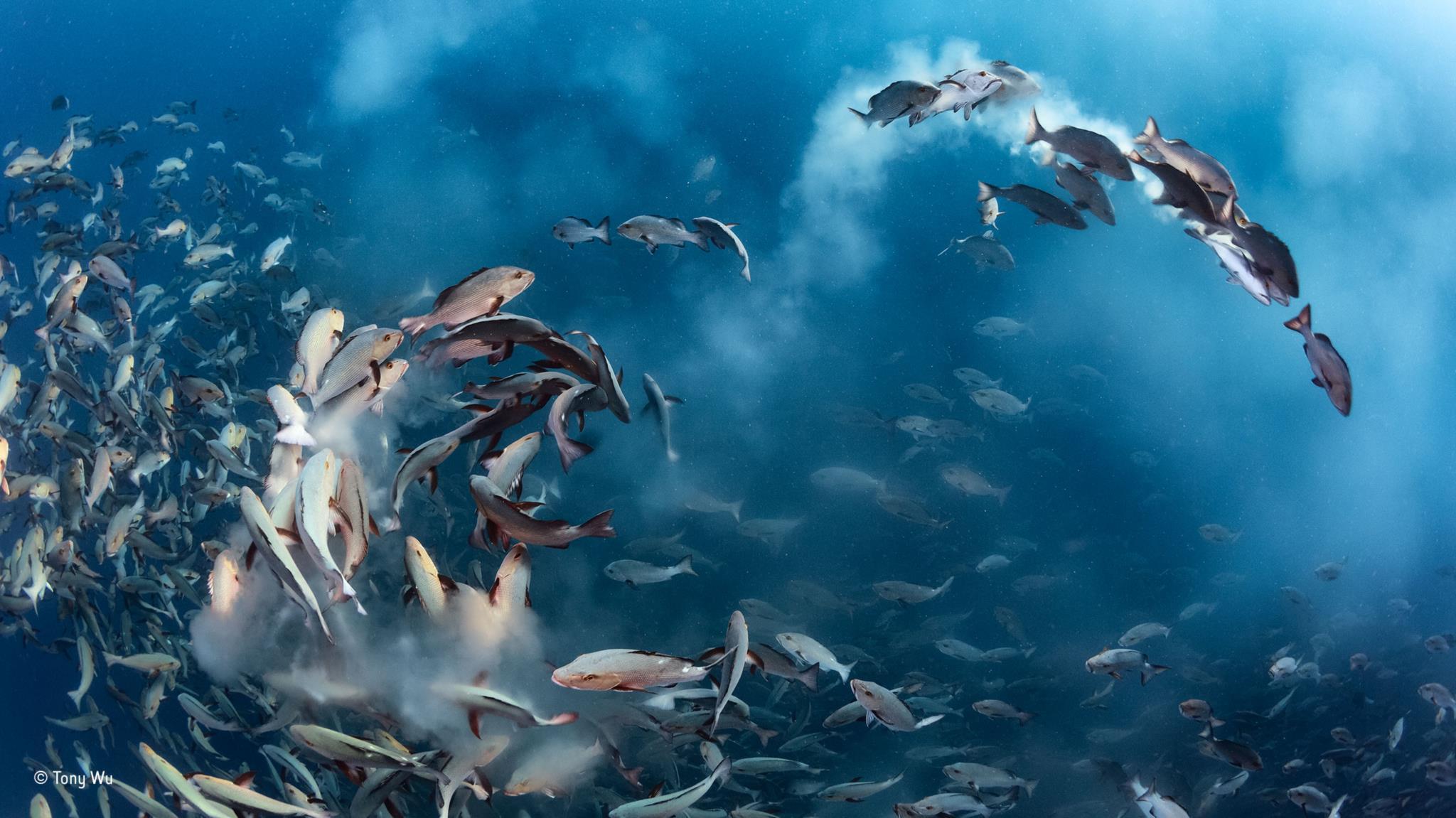 Cardume de caranhas desova perto de Palau, Oceano Pacífico (Vencedor Fotografia Submarina)