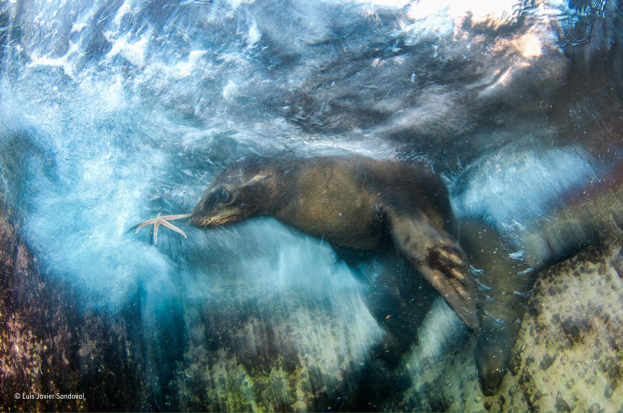 Leão marinho no Golfo da Califórnia (Vencedor Movimento)