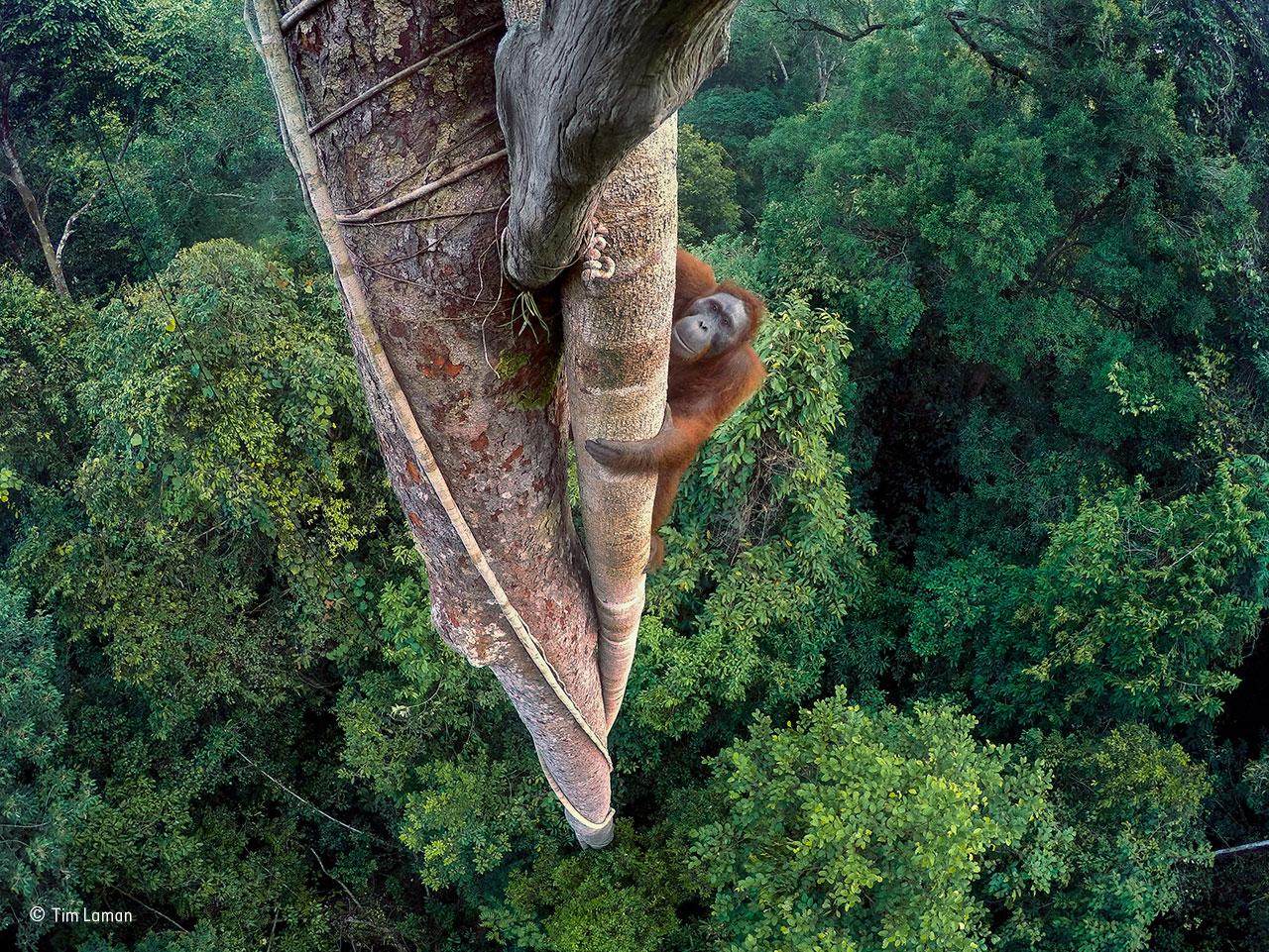 Orangotango-de-bornéu numa floresta da Indonésia (Vencedor do Ano)