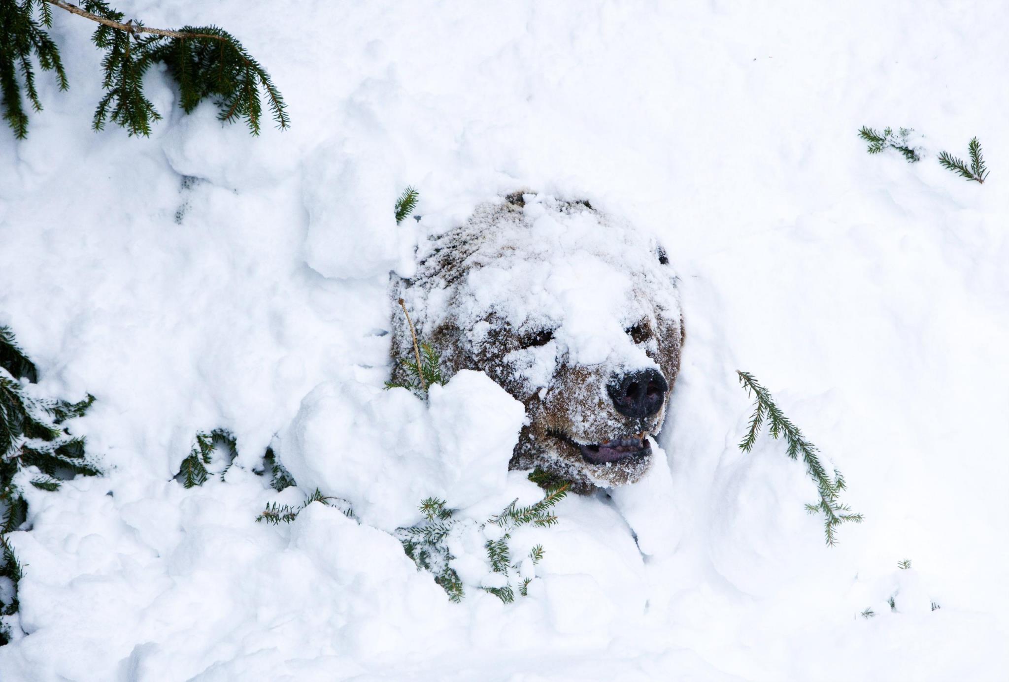 Um urso acorda após o periodo de hibernação no Jardim Zoológico de Ranua, Finlândia